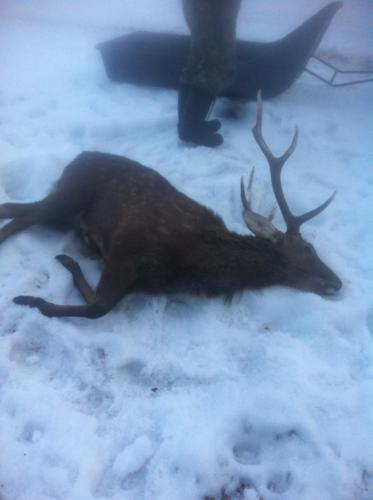 Охота на пятнистого оленя в Смоленской области