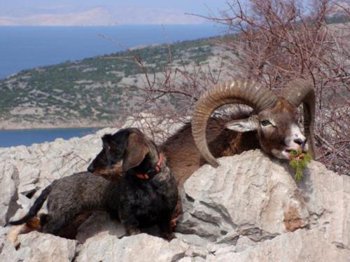 Охота на муфлона в Хорватии 2018 год
