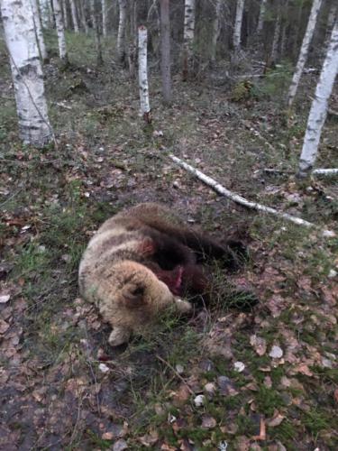 Охота на медведя на базе 1300км Карелия 05.2019