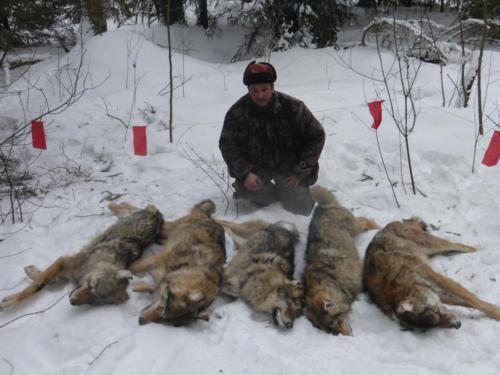 Охота на волка с флажками